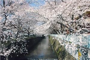 kakio-sakura